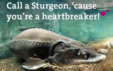 sturgeon, breaking my heart, fish pun
