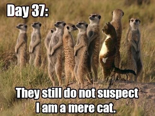 meerkat pun